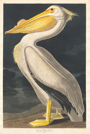 White-Pelican-Slideshow
